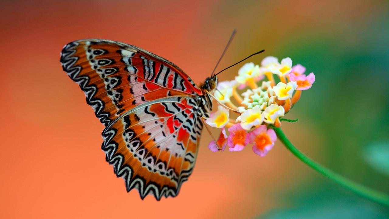 أرجوزة الفراشة